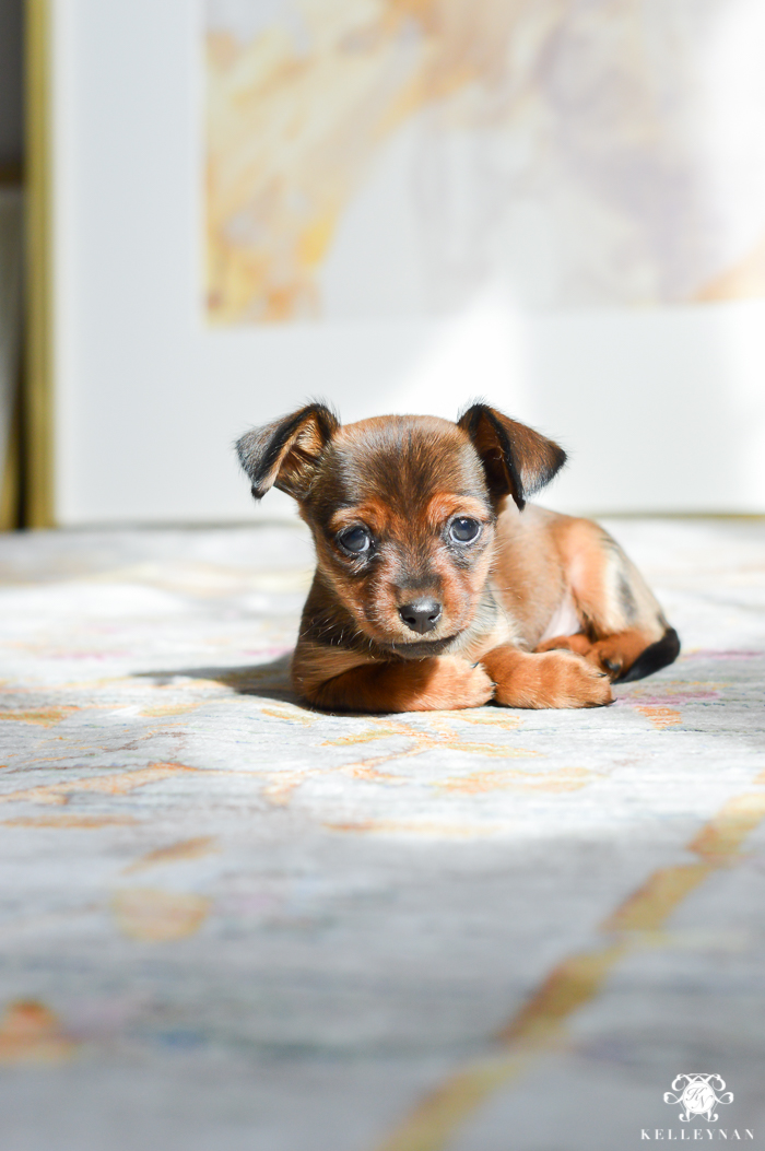 dorkie-puppy-in-home-decor