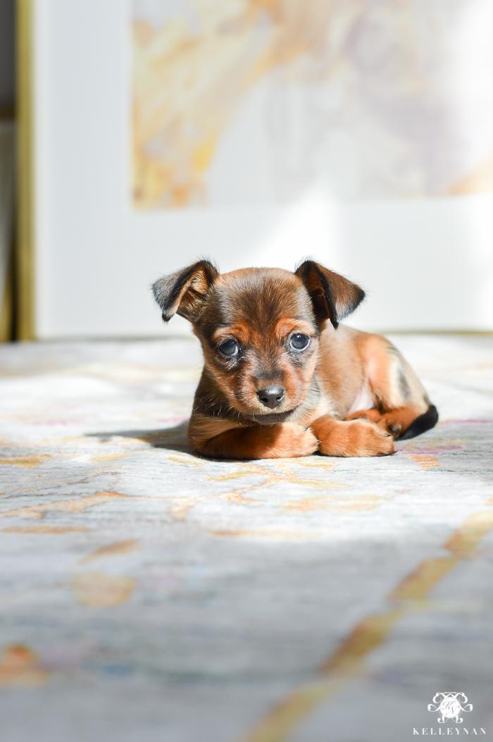 dorkie-puppy-in-home-decor