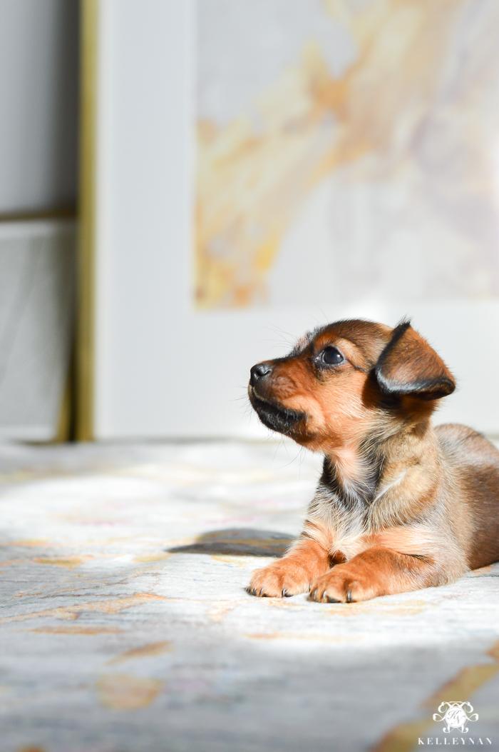 dorkie-puppy-in-office