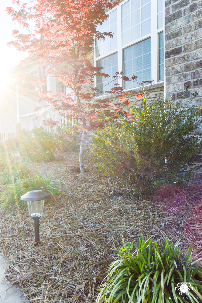 Photography sunburst outdoors with red japanese maple tree