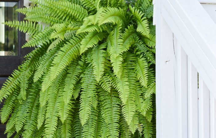 Front Porch Throughout the Seasons and Why Ferns in Urns are the Way to Go