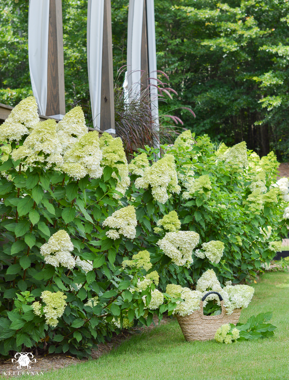 huge hedge of limelight hydrangeas on side of house