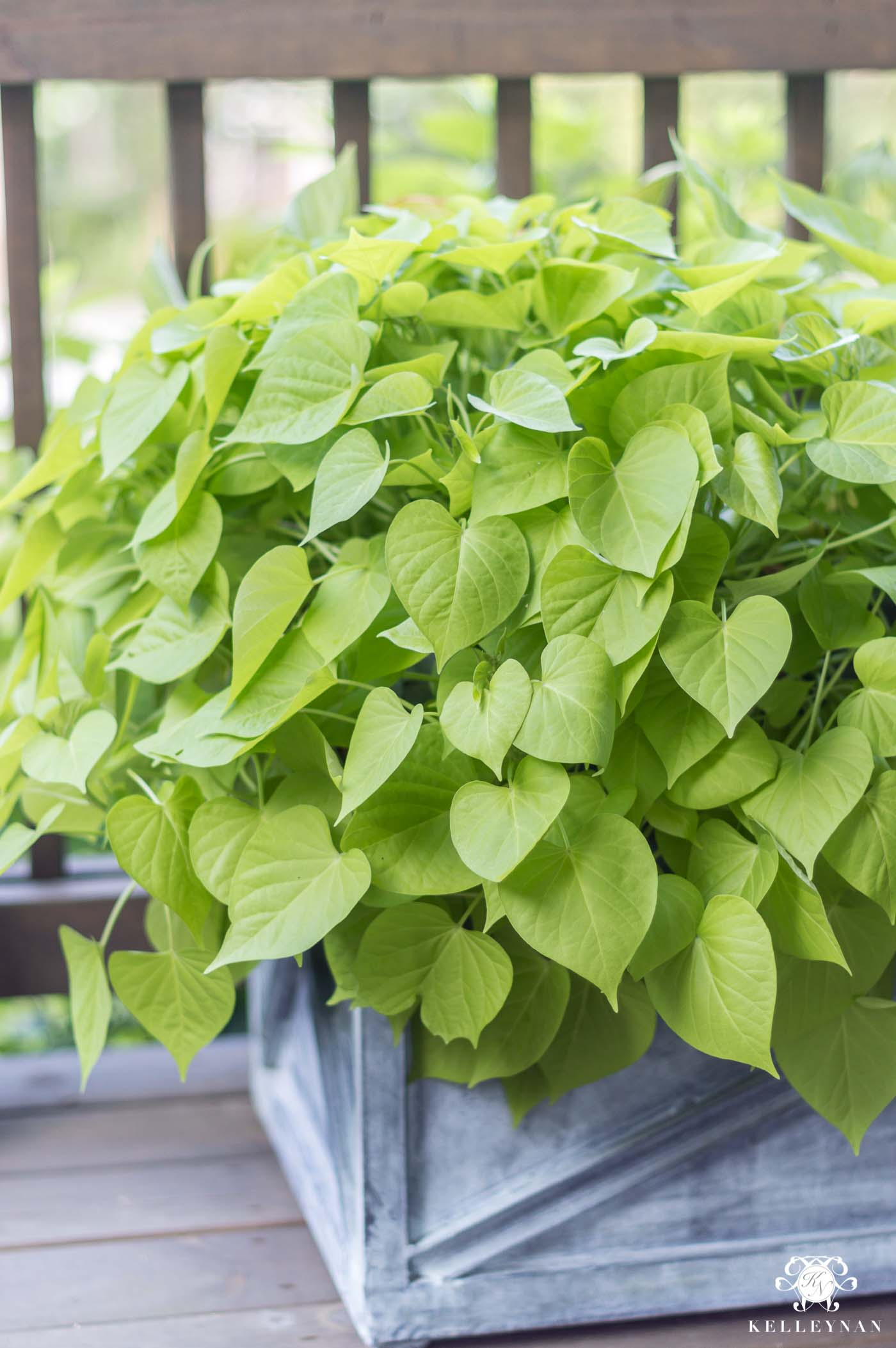 Sweet potato vines get huge in direct, hot sunlight and are perfect in deck or porch planters
