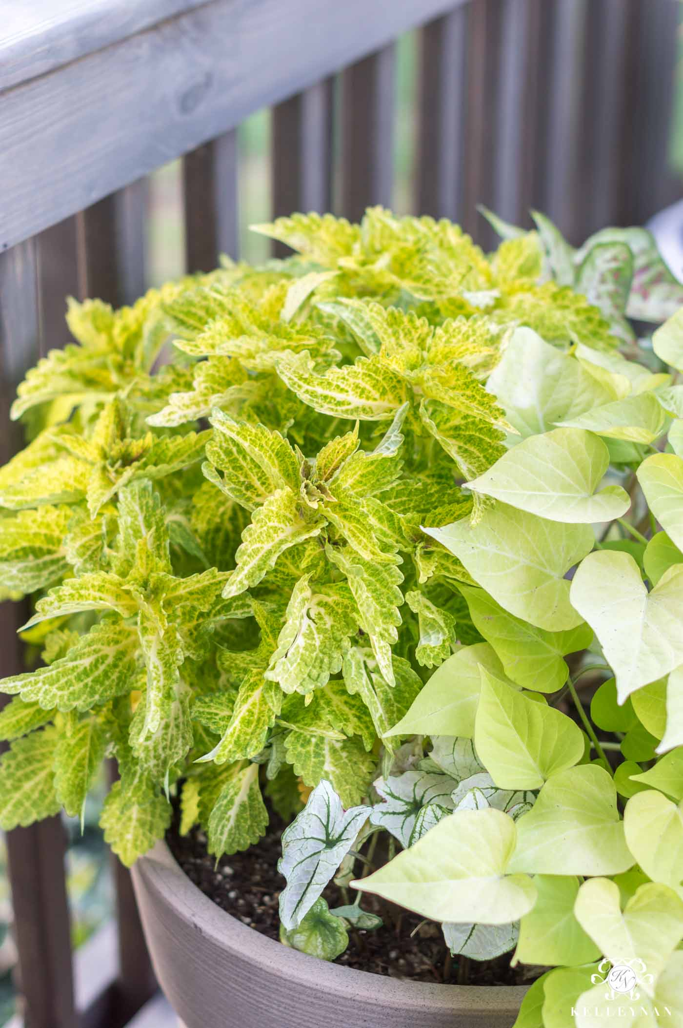 Sun coleus is a favorite green plant for the back deck in full sunlight