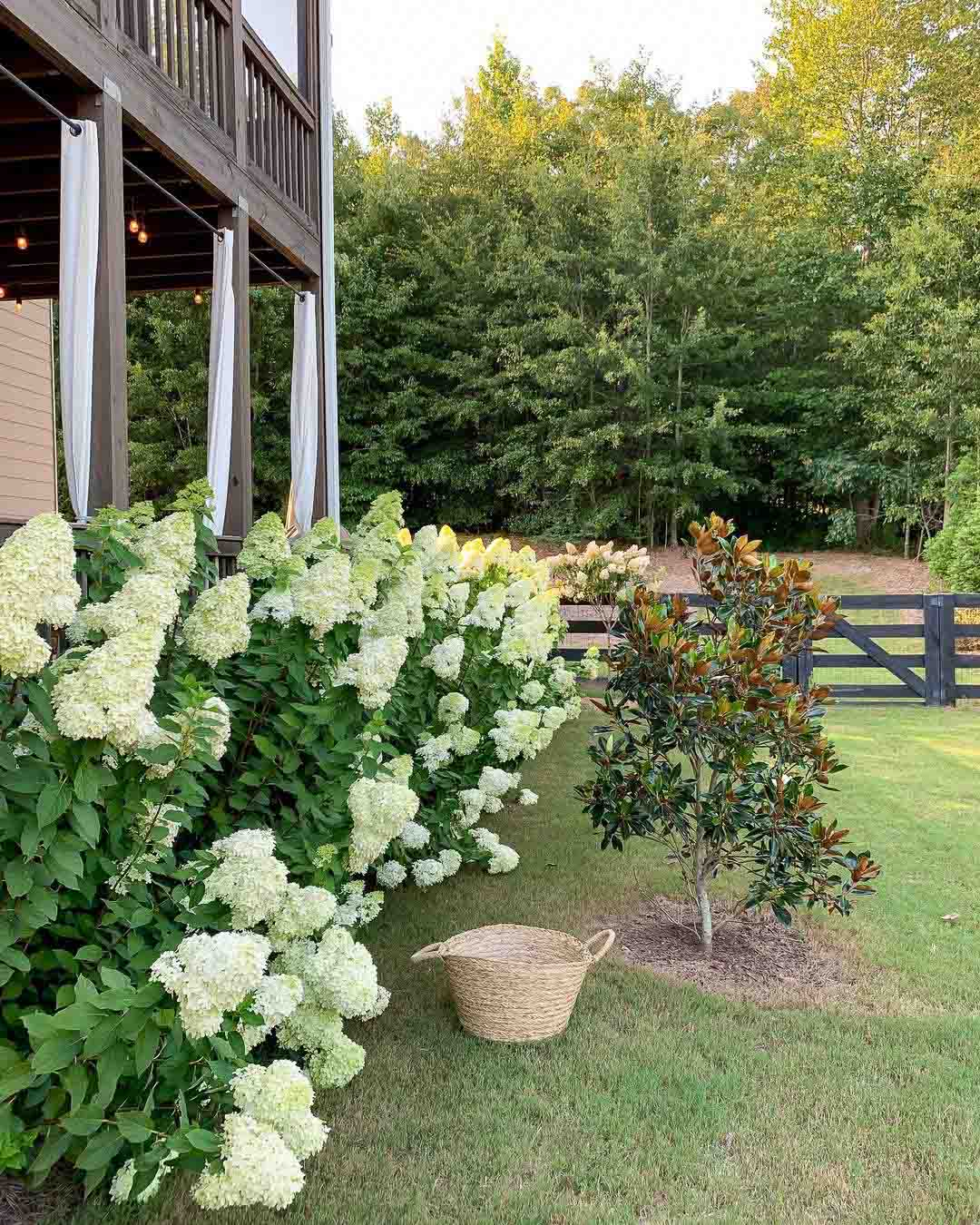 How to care for limelight hydrangeas